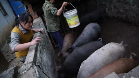 胖妹过年想买头肥猪,提前上山来预定,6头肥猪挤一窝,真有排面