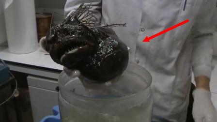 """人们利用CT扫描发现,一条多毛琵琶鱼""""标本""""的最后一餐,竟是这样!"""