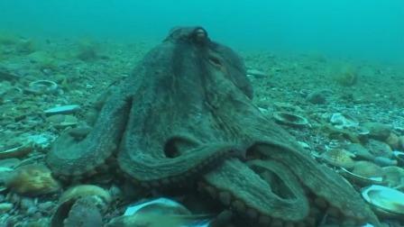 章鱼吸附在海底表面,用它吸盘式的触角,吸食躲藏的螃蟹和贝类