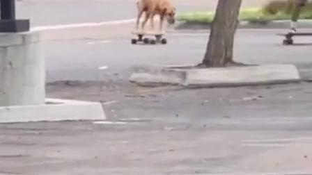 你见过这么聪明的小狗狗吗萌宠