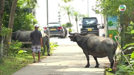 【東張西望】貝澳水牛橫衝直撞 傷民擾民誰之過?