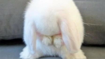 为啥可爱的兔子要用爪子洗脸?原来不是因为爱干净,而是这个原因