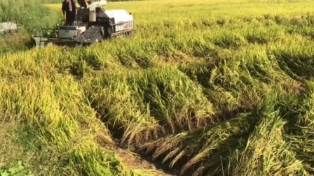 履带式收割机连倒伏的水稻也可以收起