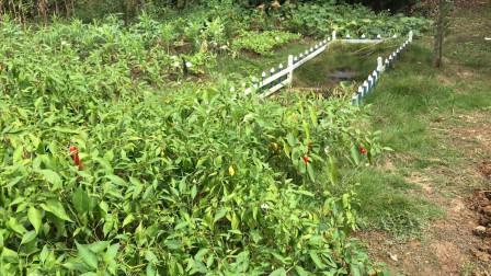 实拍湖北农村,菜园子和鱼塘几百平,真正的自给自足!