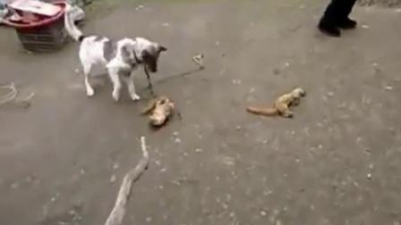 好斗的狗子大战黄大仙,究竟谁能更胜一筹!