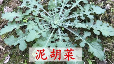 """秋天最好吃的野菜""""泥胡菜"""",田间不多见了,快来认知了解吧"""