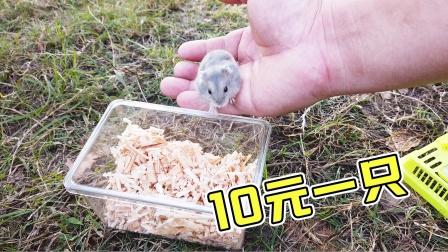 主人逛公园花10元买了一只小仓鼠,太划算了