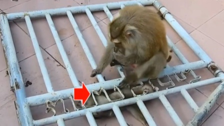 """小猴子正在玩耍,一旁铁门""""哐当""""砸下"""