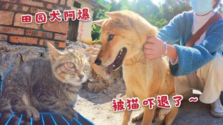 阿爆第一次看到狸花猫,两眼放光以为是吃的,靠近被吼一声吓跳了