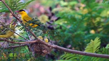 感受下黄鹂鸟育雏的原声现场,快门声不绝于耳