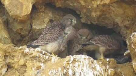 一窝红隼从雏鸟到长大离巢的全过程