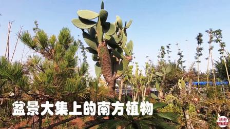 逛盆景院子,两米多的大仙人树真霸气,南北方植物种一起挺个性!