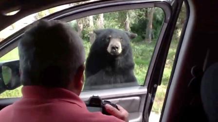 男子开车野外游玩,隔窗逗熊好不开心,熊:不要开心的太早