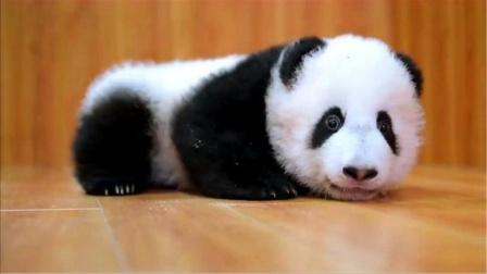 世上第一只被退货的大熊猫,中国人笑出内伤