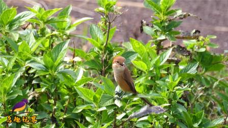 小鸟的叫声真好听,太美妙了,让人流连忘返