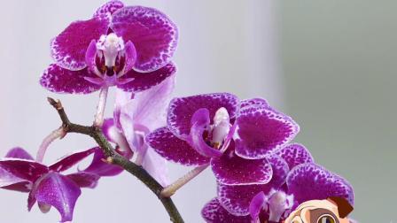 简单的园艺技巧🌺~如何让兰花全年开花
