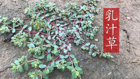 农村常见的植物,夏秋两种颜色,一起认识一下吧
