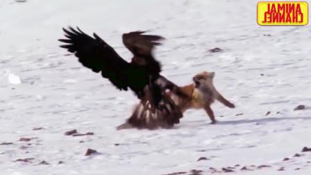 绝对的空中霸主,捕食猎物时一旦出手便是雷霆一击,一抓一个准