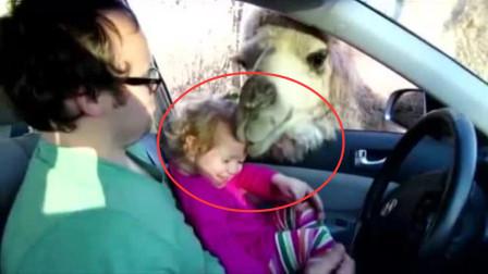 小女孩回家偶遇骆驼,直接被骆驼来了波舔脸杀,不给吃的就不让走
