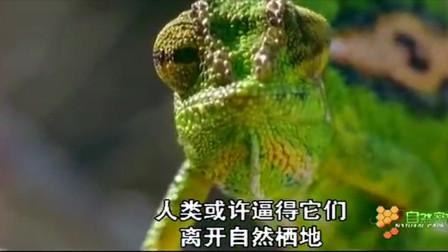 变色龙的舌头像捕蝇纸,透过仪式性的展示来表达不悦
