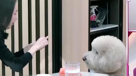 王鸥的巨型贵宾犬太可爱了,一看就是训练过的