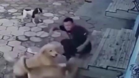 金毛边牧跟主人一起玩耍,突然一只狗狗冲着主人就咬,金毛护主,边牧跑了