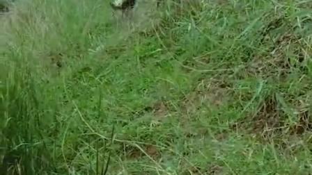 德国花十几万买来牧羊犬,自己数了数少了几只羊,可把它给急坏了