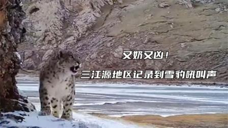 雪豹的叫声怎么是这样的???三江源地区记录到雪豹吼叫声