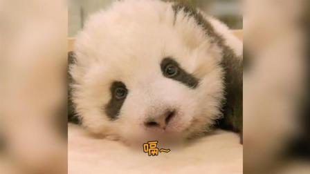 熊猫宝宝打嗝,小奶音萌!炸!了!