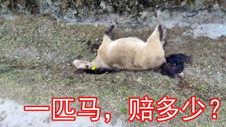 河南小伙穷游西藏,实拍记录不小心撞死一匹马,要赔偿多少钱?