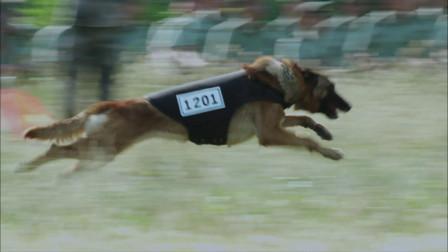 """军犬比赛中,""""战神""""幽灵犬的速度吓呆众人,像只箭一样冲"""