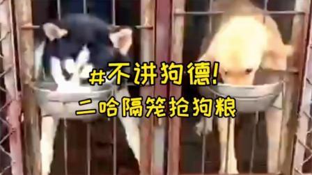 """二哈隔笼连盆抢走金毛狗粮被调侃""""不讲狗德"""