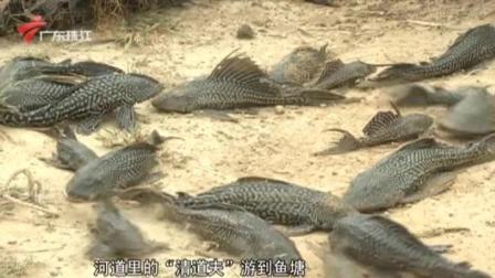 江门:清道夫鱼泛滥成灾  鱼塘主求助 今日关注 20201124