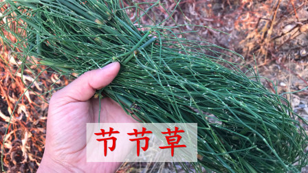 节节草用途多,农村70岁老师傅教我一招,生活中很实用