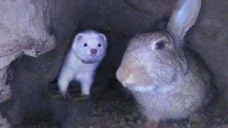 男子将雪貂放进兔子窝,兔子瞬间炸开锅