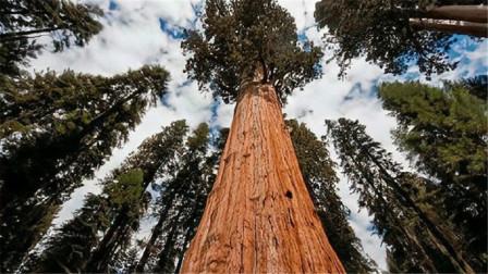 全球最大的树,树龄超过3500年,现在还在不停茁壮生长