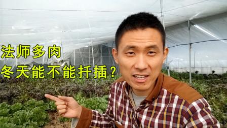 刚哥给美杜莎法师扦插繁殖,网友问冬天也行吗?继续砍红覆轮锦!