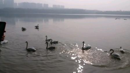 《天鹅湖》鹅美湖大