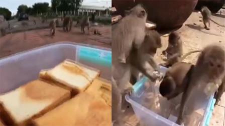 莫名心酸!泰国数十只猴子抢夺面包片,蜂拥而上面包箱瞬间空箱
