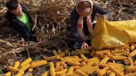 扒了好几天玉米,今天终于等到你了!