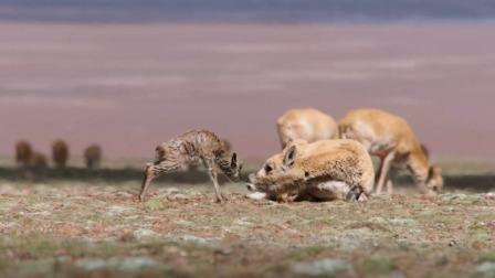 我们诞生在中国:神圣之路——藏羚羊的产仔迁徙之旅