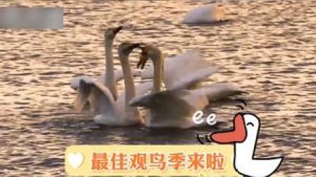 #6000多只大天鹅飞抵荣成,瞬间成为冬日里靓丽的风景!#动物 #天鹅#冬天#风景