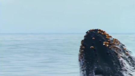 座头鲸饭后运动,鲸跃龙门的壮观场面