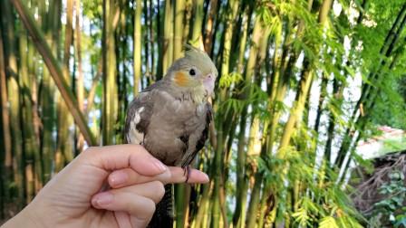 天生胆小的玄凤鹦鹉被野猫偷袭,勇敢的回来了,浑身是伤怎么办?