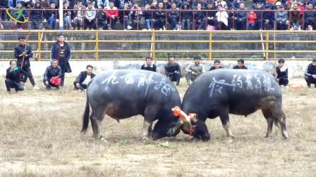 贵州省从江县少数民族文化特色,民间娱乐斗牛活动,岑约青年组VS祥心一号,非常精彩。