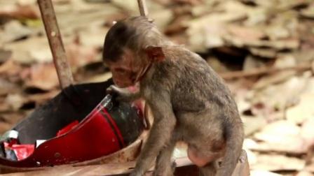 小猴试着爬上一辆卖莲子的摩托车,却发现非常难爬上去!