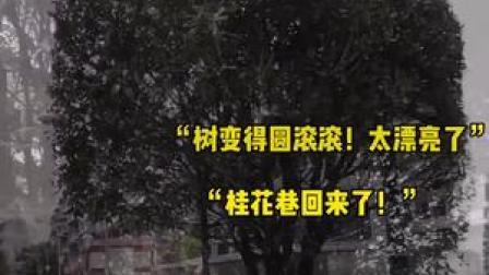 """🌳🌳🌳做了个时尚造型 #成都 桂花巷的桂花树圆滚滚的""""肥""""来啦!#想见你2021"""