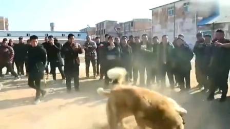 中亚牧羊犬爆发力太猛,场面太猛了