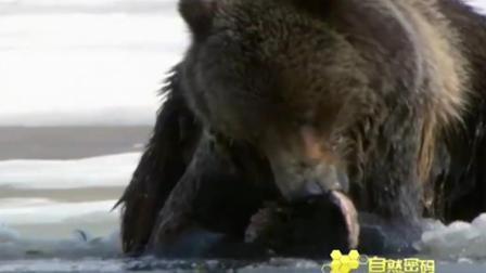 灰熊找到了埋藏在冰下的鱼,心满意足地吃了起来!
