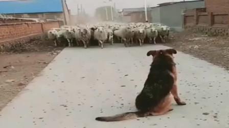 牧羊犬不是白叫的,千军万羊压境,这气势是不容小觑的!
